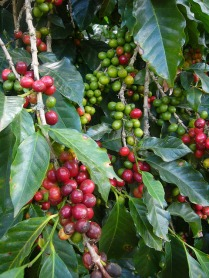 coffee tree sustainability